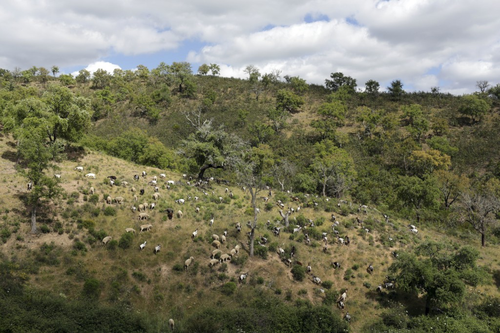 In this picture taken June 5 2018, a herd of more than 200 goats slowly munches its way through the thick undergrowth covering the hills in Moita da G