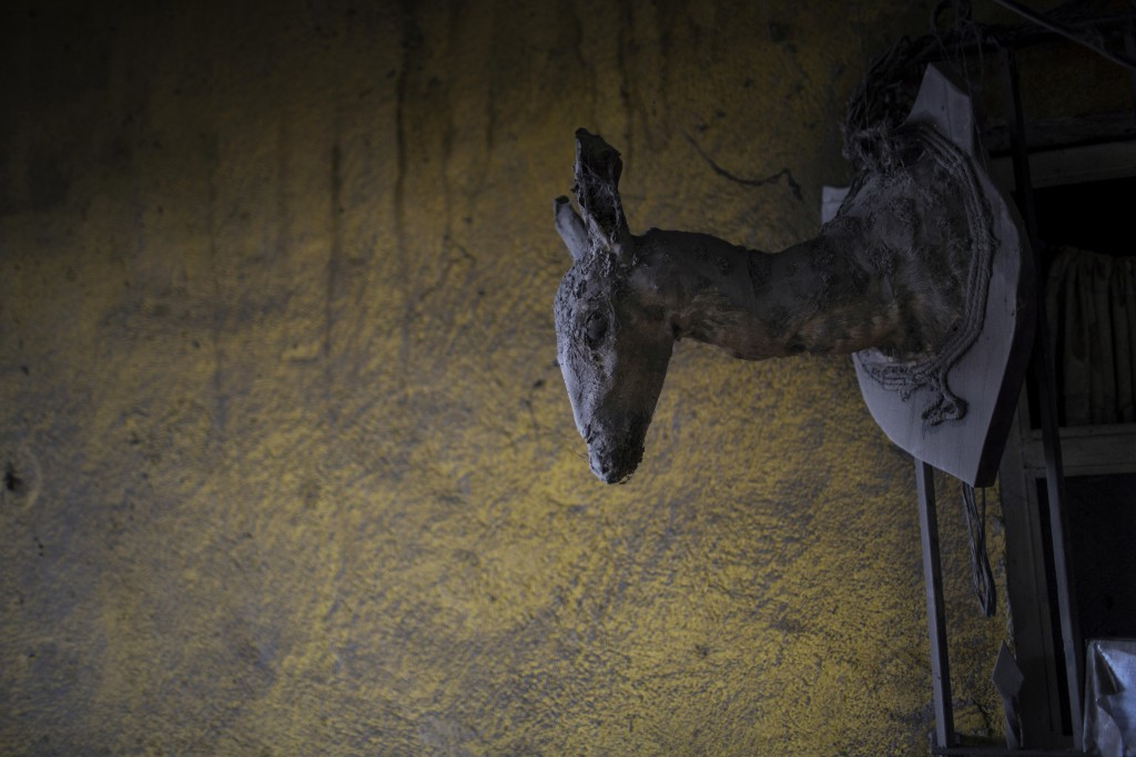 This June 8, 2018 photo shows a deer taxidermy shoulder mount and a wall dusted with volcanic ash spewed by the Volcan de Fuego or Volcano of Fire, in