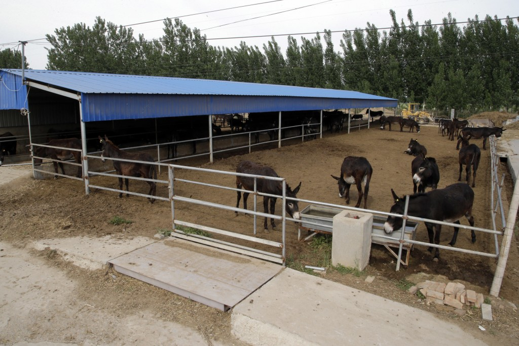 In this May 14, 2018, photo, donkeys raised by subcontractors of the world's largest donkey skin gel producer are seen in the city of Dong'e in easter