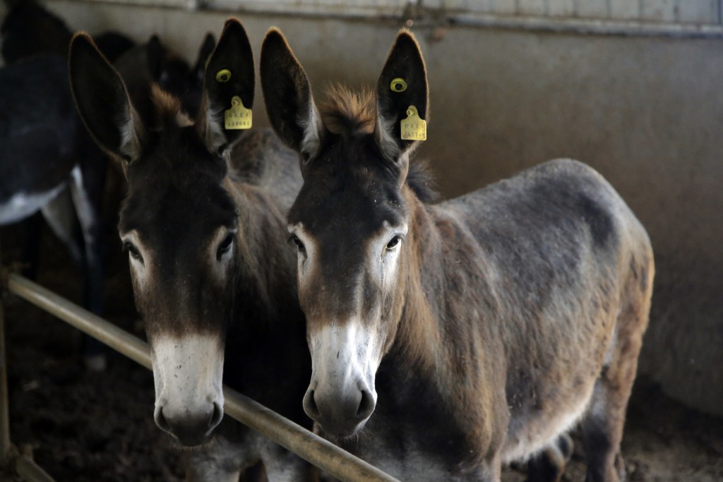 In this May 14, 2018, photo, donkeys raised by subcontractors of the world's largest donkey skin gel producer await for lunch in the city of Dong'e in