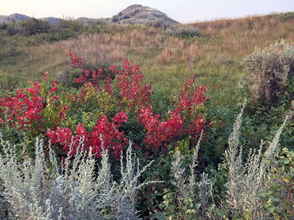 This Sept. 3, 2017 photo shows bright red foliage, gray-green sage and other grasses growing in a field at Theodore Roosevelt National Park in Medora,...