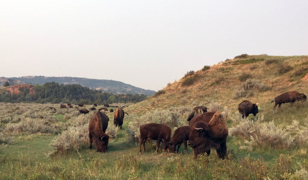 This Sept. 3, 2017 photo shows bison grazing at Theodore Roosevelt National Park in Medora, N.D. The park's south unit has a 36-mile driving loop wher...