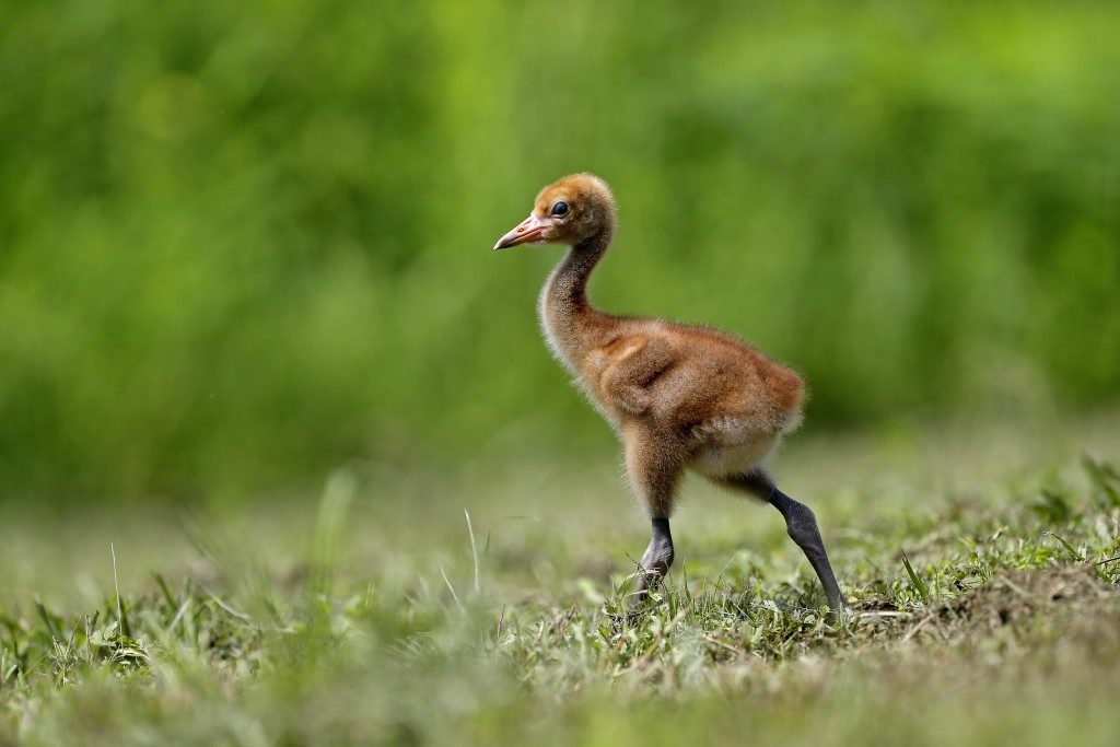 A recently born whooping crane chick, a critically endangered species, walks in an enclosure at the Audubon Nature Institute's Species Survival Center