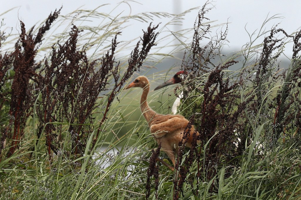 An adult whooping crane, a critically endangered species, walks on a levee between crawfish ponds with its recently born chick, in Jefferson Davis Par