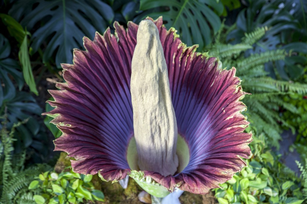 The corpse flower blooms at Frederik Meijer Gardens and Sculpture Park in Grand Rapids, Mich., Thursday, July 12, 2018. The garden's staff nicknamed t