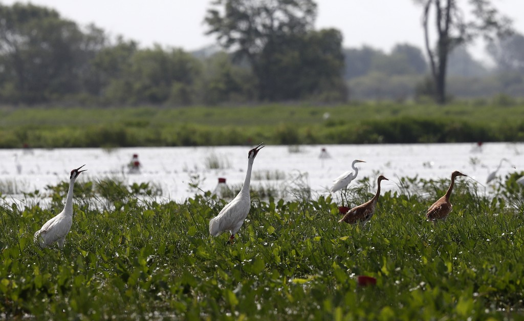A pair of whooping cranes, with two recently born chicks, forage through a crawfish pond in front of an egret, background, in Jefferson Davis Parish,