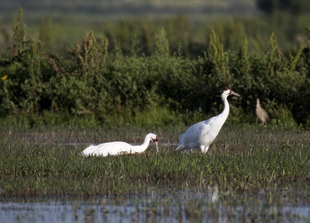 A whooping crane, a critically endangered species, sits on a nest with eggs as its mate stands nearby, in a crawfish pond in St. Landry Parish, La., F