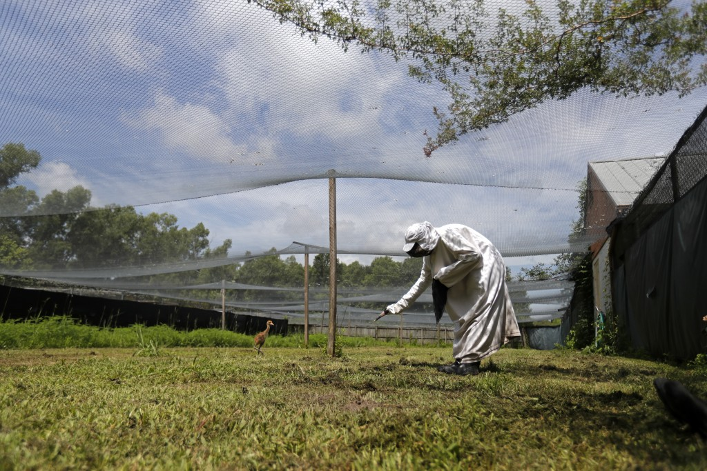 "A keeper wearing a ""crane suit,"" to resemble a parent whooping crane so the chick does not imprint on a human, feeds a recently born whooping crane ch"