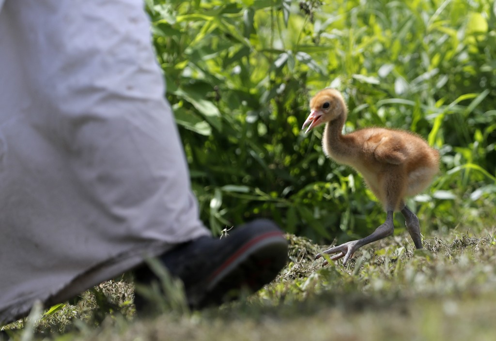"A recently born whooping crane chick, a critically endangered species, walks behind a keeper in a ""crane suit,"" designed to resemble a parent so it do"
