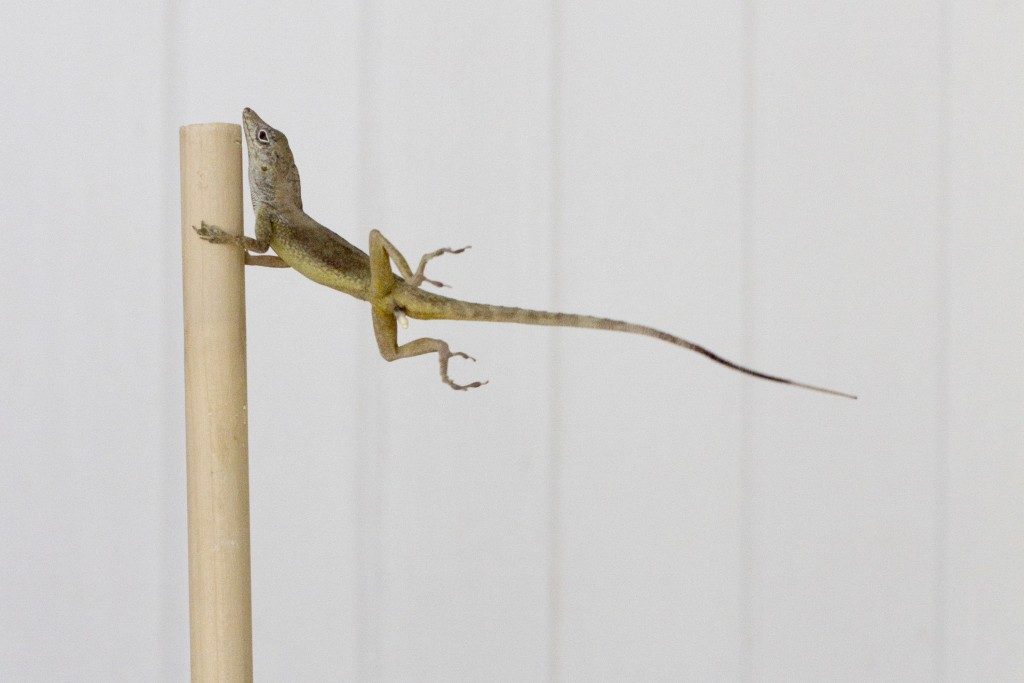 In this Oct. 19, 2017 photo provided by Colin Donihue, an anoles lizard hangs onto a pole during a simulated wind experiment in the Turks and Caicos I