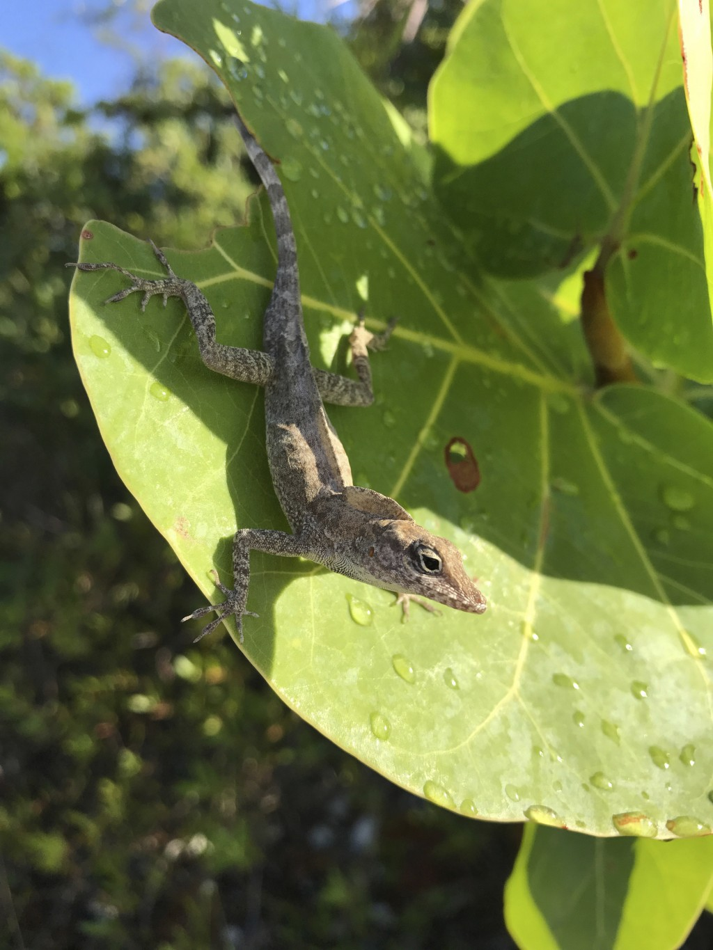 This Aug. 30, 2017 photo provided by Colin Donihue, shows an anoles lizard in the Turks and Caicos Islands. According to a study in the Wednesday, Jul