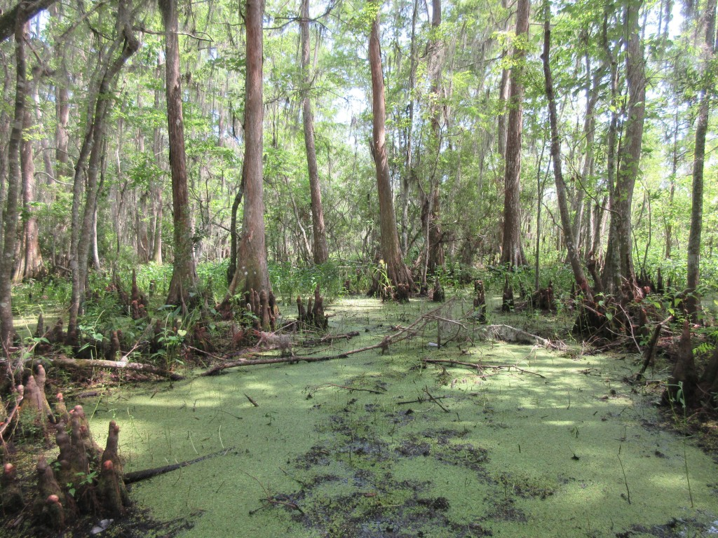 This June 3, 2018 photo shows a verdant landscape in the Barataria Preserve, part of Jean Lafitte National Historical Park and Preserve in Marrero, Lo...