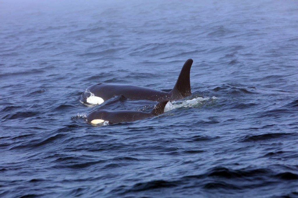 In this Tuesday, Aug. 7, 2018, Southern Resident killer whale J50 and her mother, J16, swim off the west coast of Vancouver Island near Port Renfrew,