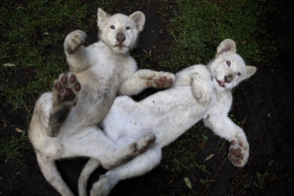 In this Tuesday, Aug. 7, 2018 photo, a pair of four-month-old white lion cubs play together in their enclosure at the Altiplano Zoo in Tlaxcala. The Z