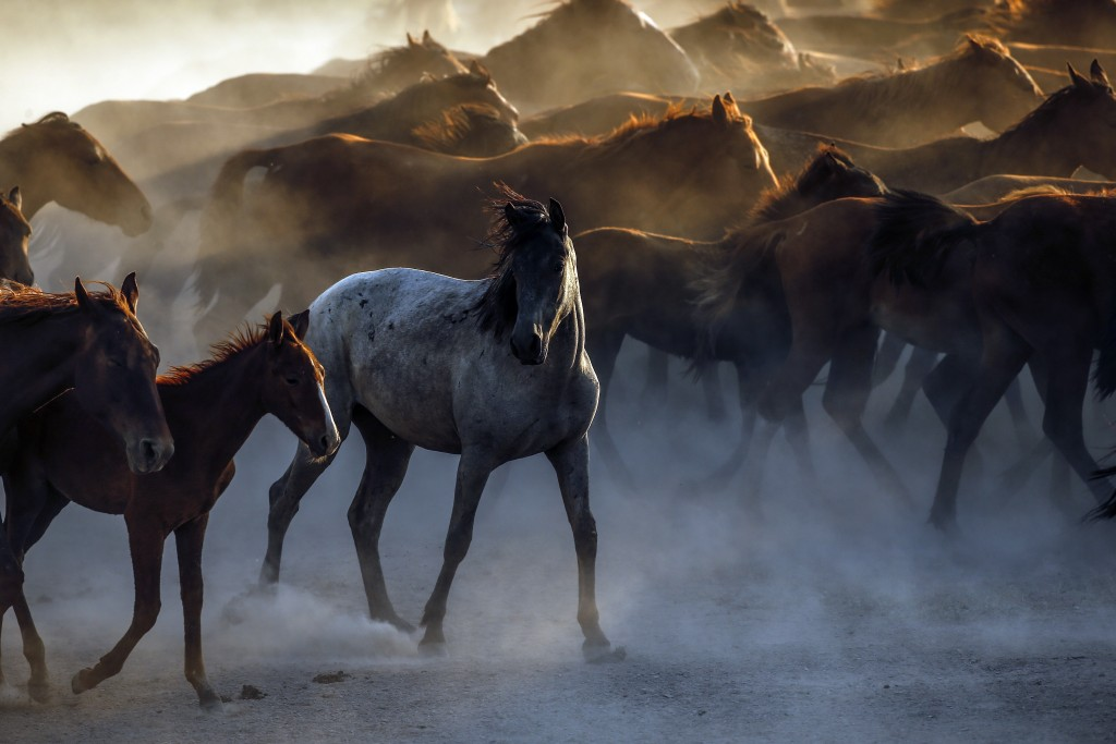 In this photo taken on Sunday, Aug. 5, 2018, horses raise up dust as they run in the village of Hormetci, on the foothill of Mount Erciyes, in the cen