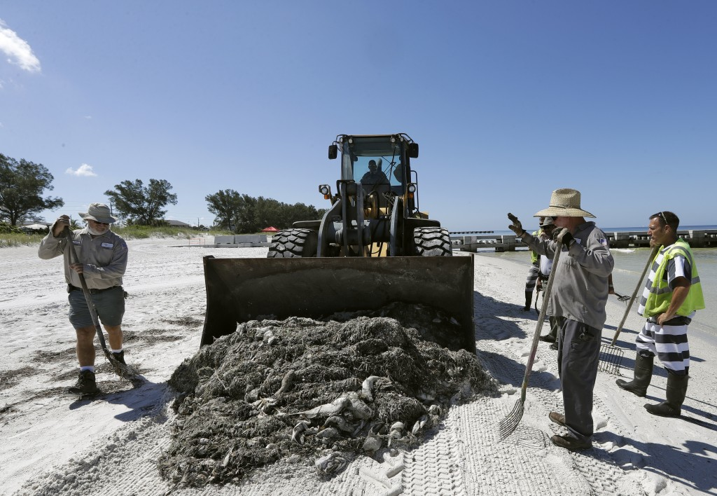 In this Monday Aug. 6, 2018 photo, work crew clean up dead fish on Coquina Beach in Bradenton Beach, Fla. From Naples in Southwest Florida, about 135 ...
