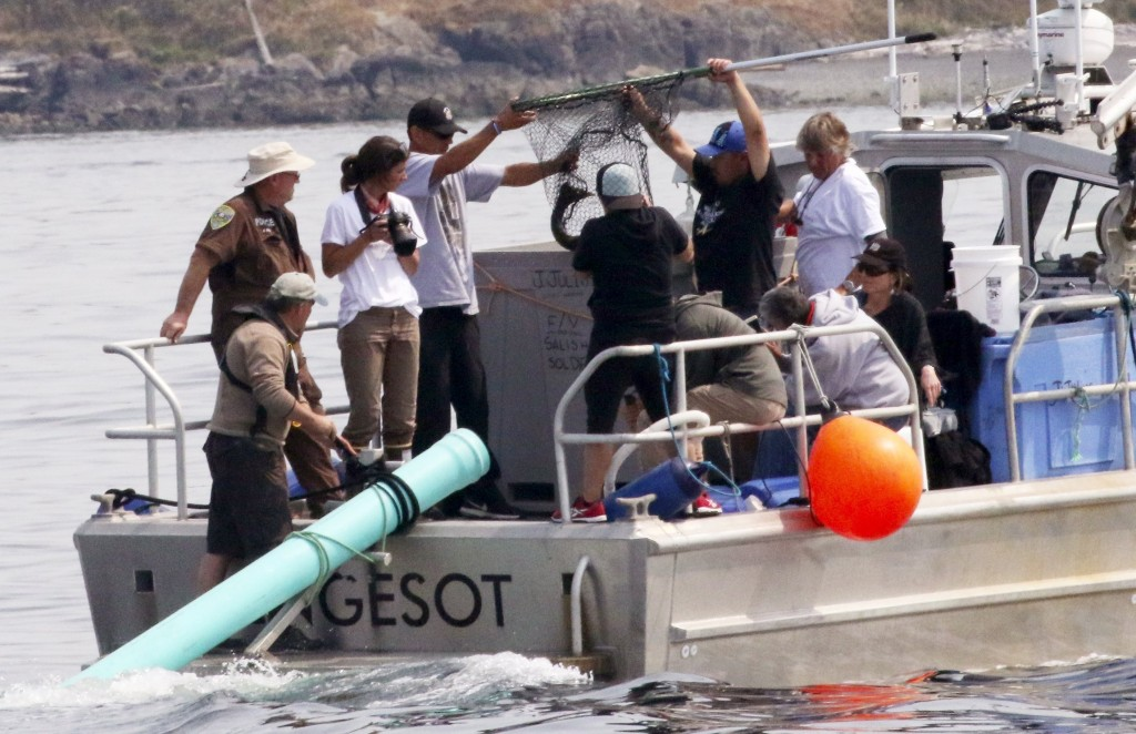 Aboard a Lummi Nation police boat, tribal members, NOAA and others use a dip net to lift a chinook salmon from a fish tote to release through the gree...