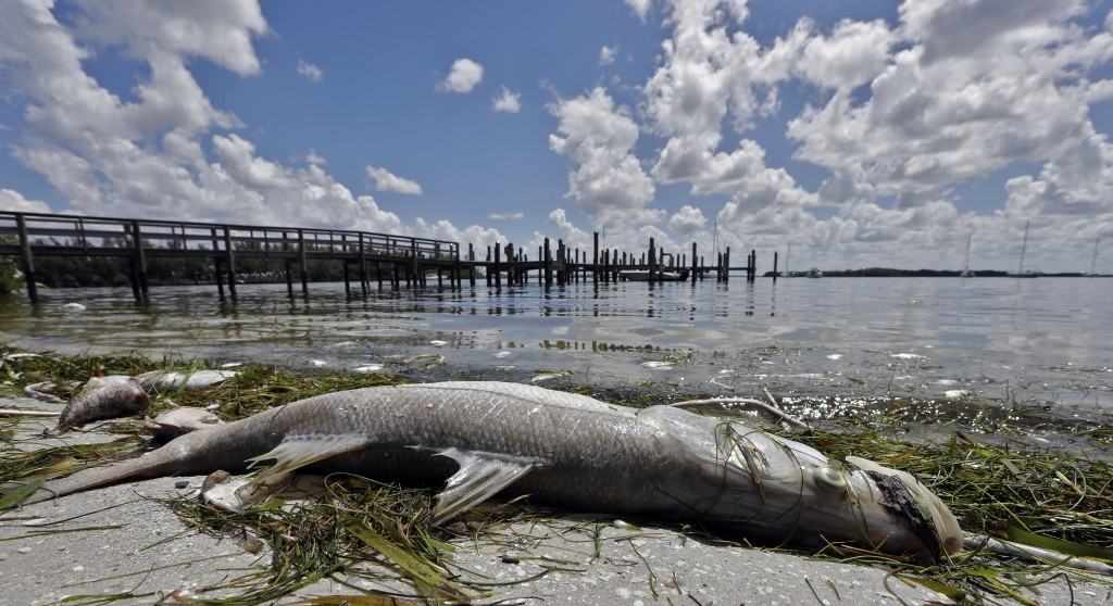 In this Monday Aug. 6, 2018 photo, a dead Snook is shown along the water's edge in Bradenton Beach, Fla. From Naples in Southwest Florida, about 135 m...