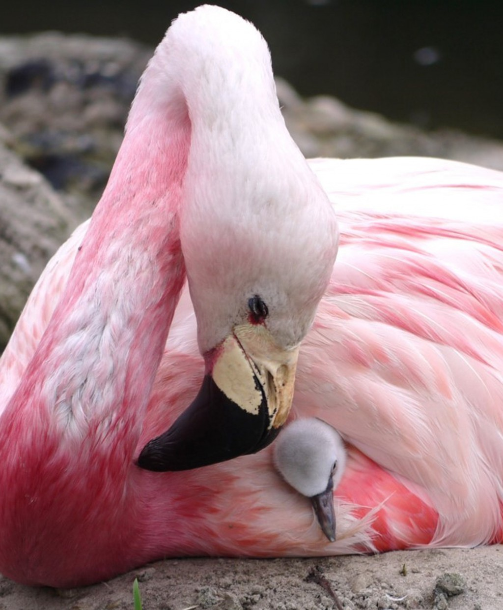 An Andean flamingo swaddles a surrogate Chilean flamingo chick, supplanted to replace its own infertile egg, in Slimbridge, England, in this undated p