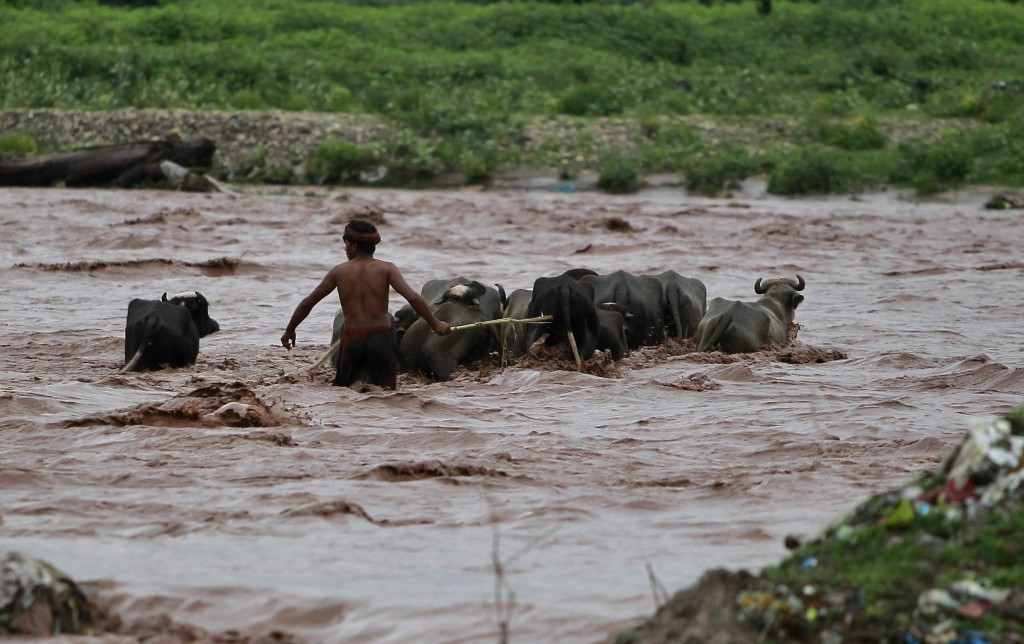 An Indian man grazing buffalos tries to cross River Tawi that was flooded following monsoon rains in Jammu, India, Monday, Aug.13, 2018. India's monso