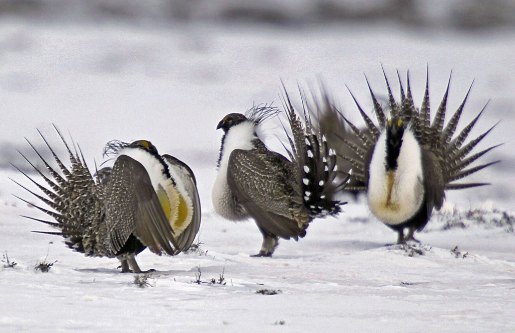 FILE - In this April 20, 2013 file photo, male greater sage grouse perform mating rituals for a female grouse, not pictured, on a lake outside Walden,...
