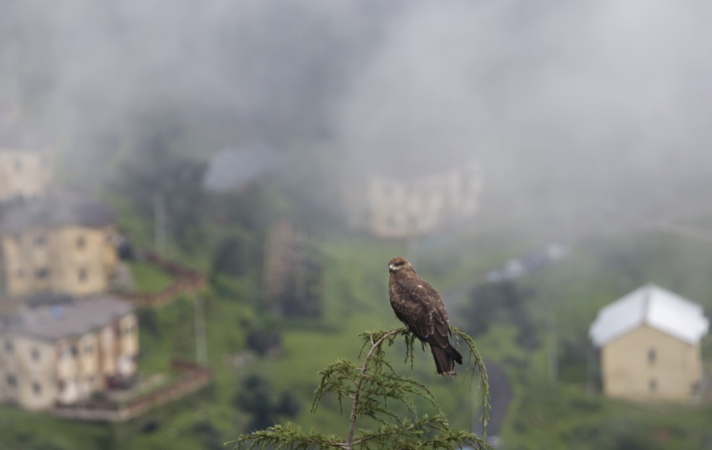 A kite bird sits on top of a tree as fog envelops a township in Dharmsala, India, Monday, Aug. 13, 2018. This mountain region is currently receiving m...