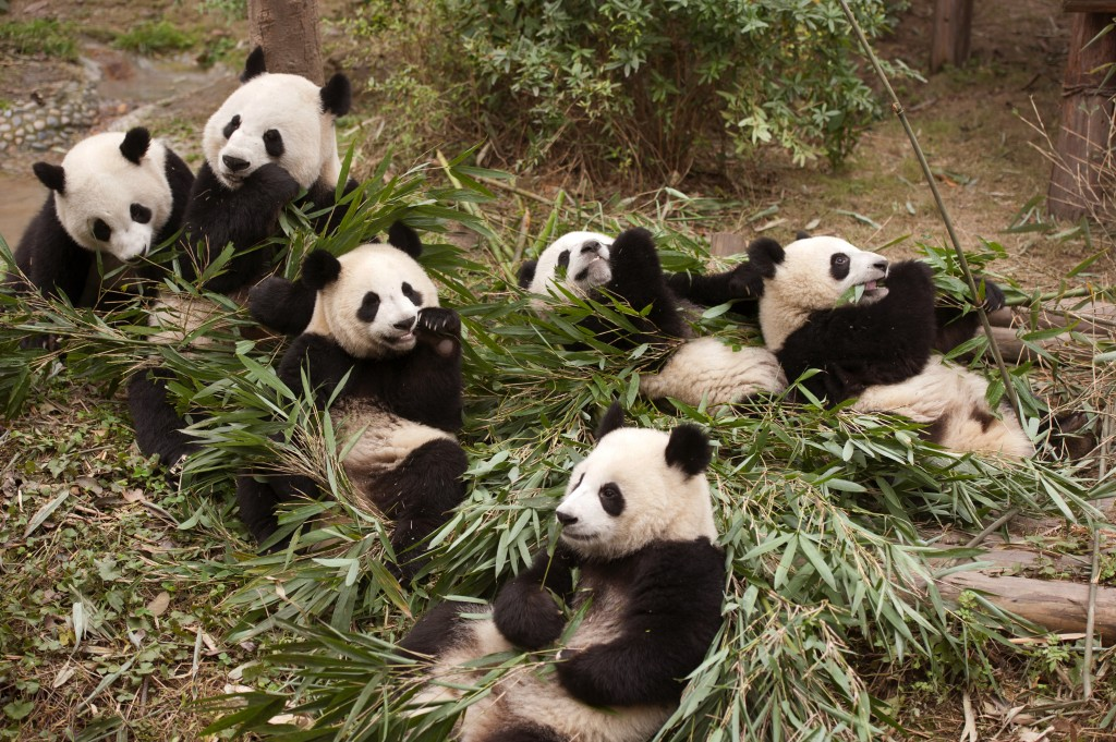 "This image released by Warner Bros. Pictures shows giant pandas in a scene from the IMAX documentary ""Pandas."" The film, from David Douglas and Drew F..."