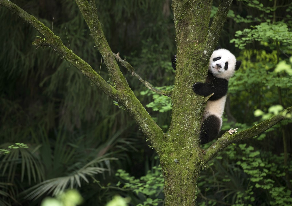 "This image released by Warner Bros. Pictures shows a giant panda cub in a scene from the IMAX documentary ""Pandas."" The film, from David Douglas and D..."
