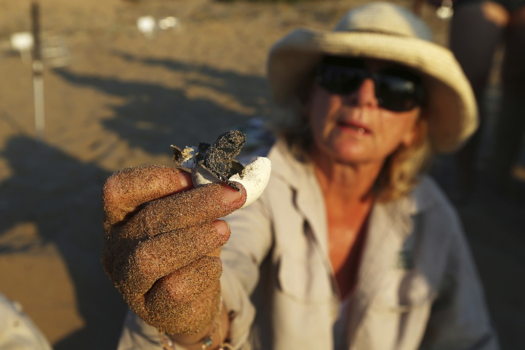 PHOTO GALLERY - In this photo taken on Friday, Aug. 10, 2018, marine biologist Myroula Hadjichristophorou holds a tiny sea turtle that just hatched fr...