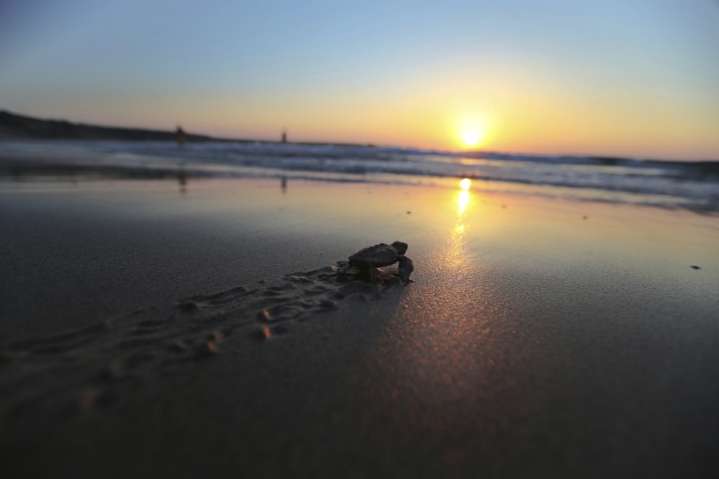 PHOTO GALLERY - In this photo taken on Friday, Aug. 10, 2018, a sea turtle soon after hatching, strains against the surf to reach the waters of the Me...