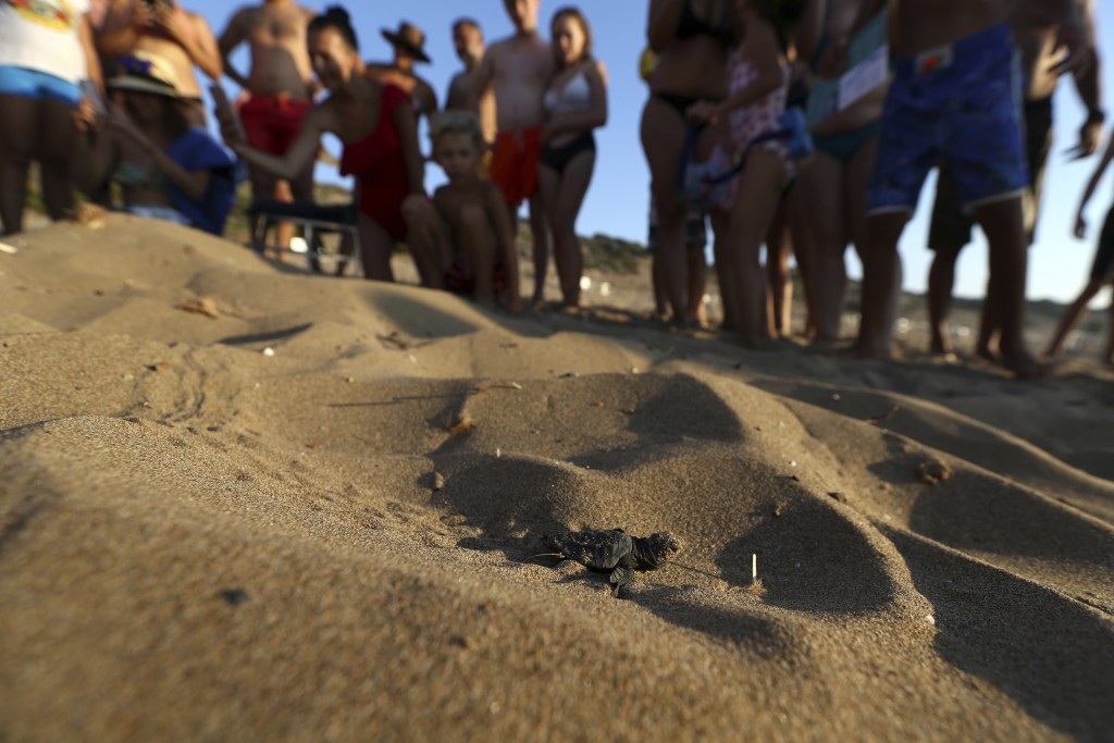 PHOTO GALLERY - In this photo taken on Friday, Aug. 10, 2018, Visitors observe a tiny sea turtle that just hatched on Cyprus' protected Lara beach hea...
