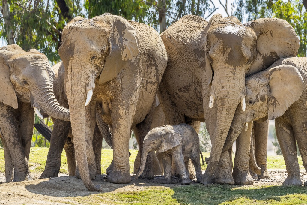 This Monday, Aug. 13, 2018 photo provided by San Diego Zoo Safari Park shows Umzula-zuli, a healthy male African elephant calf, taking its first tenta...
