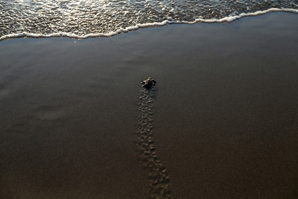 PHOTO GALLERY - In this photo taken on Friday, Aug. 10, 2018, a tiny sea turtle that just hatched makes a trail on the wet sand as it tries to reach t...