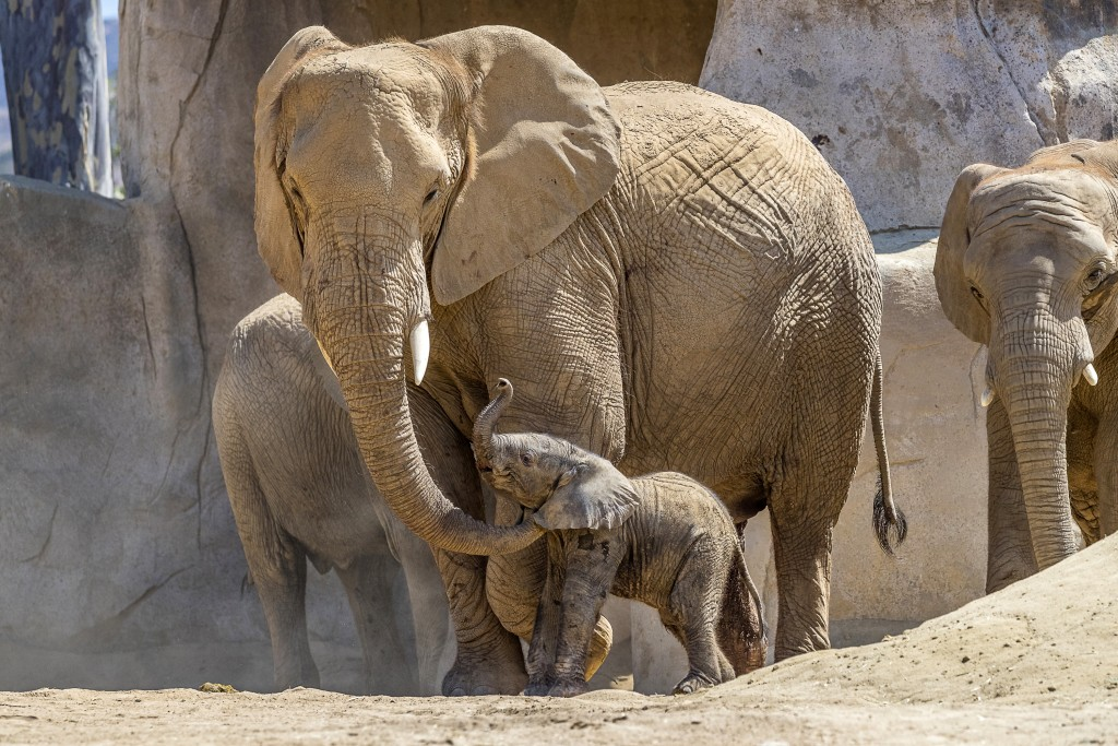 This Monday, Aug. 13, 2018 photo provided by the San Diego Zoo Safari Park shows Umzula-zuli, a healthy male African elephant calf, taking its first t...