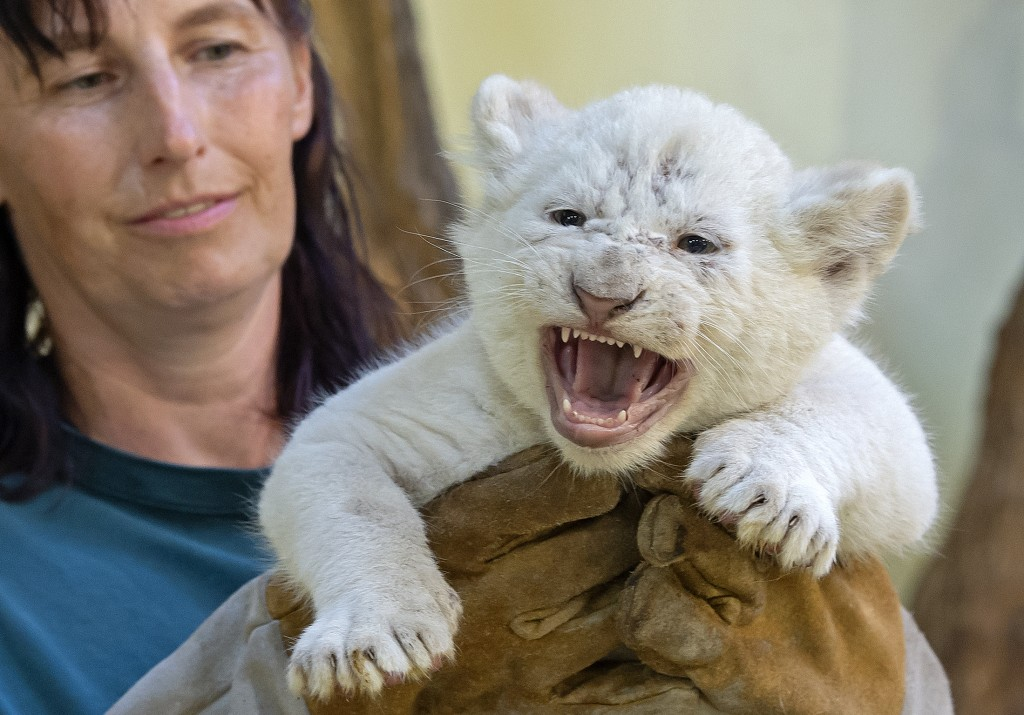 Zookeeper Susann Paelecke holds one of the four rare white lion cubs, the female baby, at the zoo in Magdeburg, Germany, Friday, Aug. 17, 2018. Keeper...