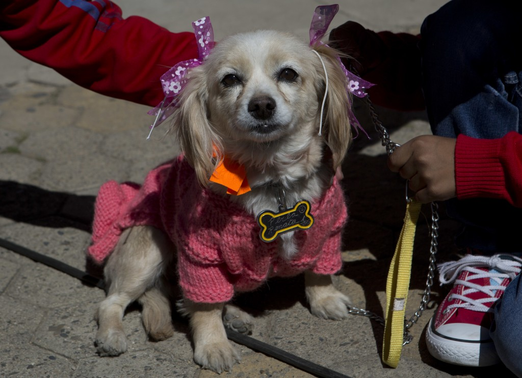 A dog in costume is held still by children during a Catholic Mass to celebrate the feast of San Roque, the patron saint of dogs, in El Alto, Bolivia, ...
