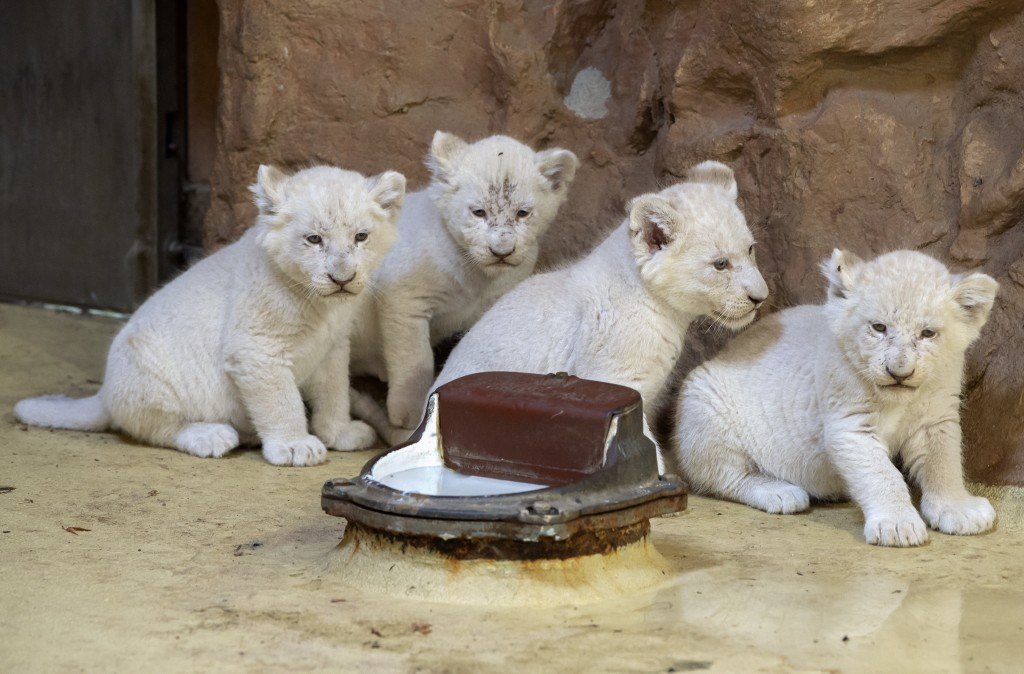 Four rare African white lion cubs sit in their enclosure at the zoo in Magdeburg, Germany, Friday, Aug. 17, 2018. Keepers weighed the three males and ...