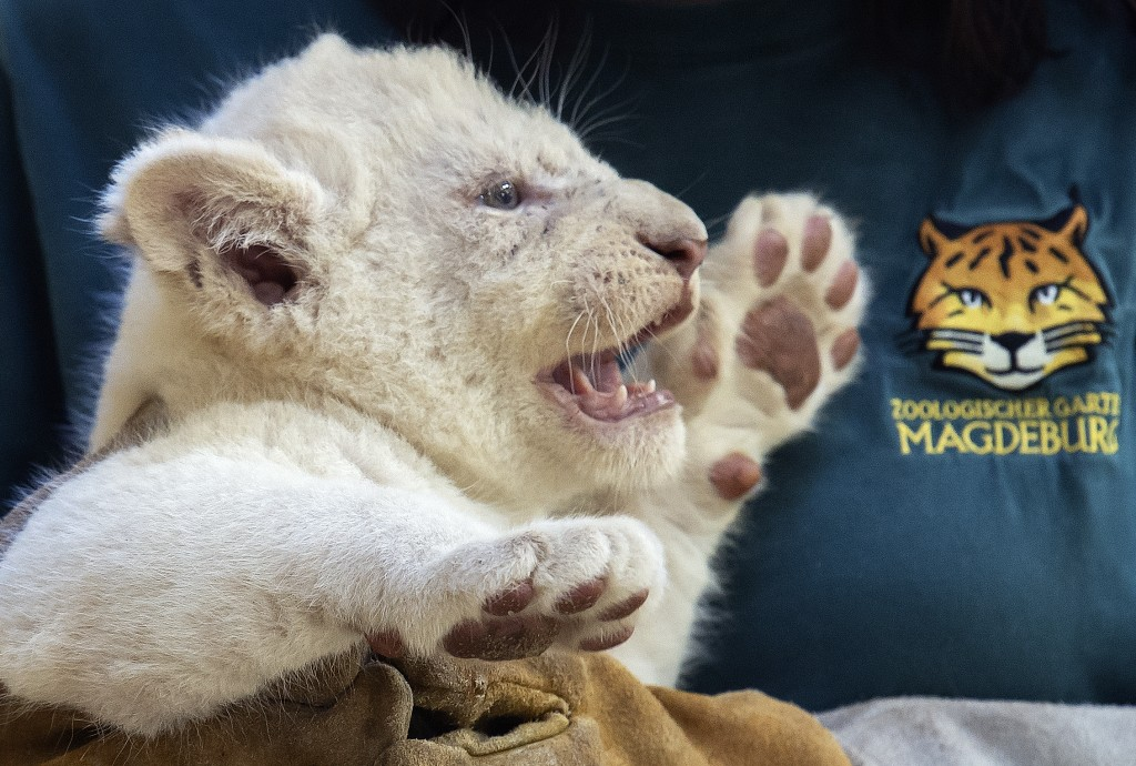 A zookeeper holds one of the four rare white lion cubs, the female baby, at the zoo in Magdeburg, Germany, Friday, Aug. 17, 2018. Keepers weighed the ...
