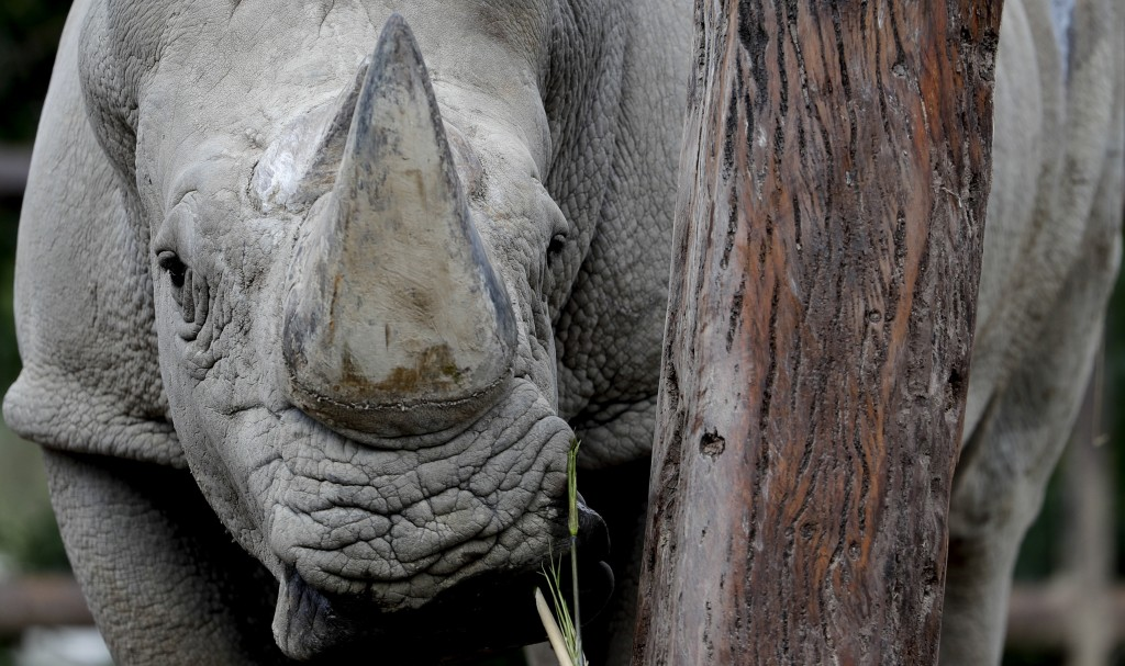 "In this Aug. 13, 2018 photo, a rhino stands inside his enclosure at the ""eco-park"" in Buenos Aires. The recent deaths of the two animals have fueled c"