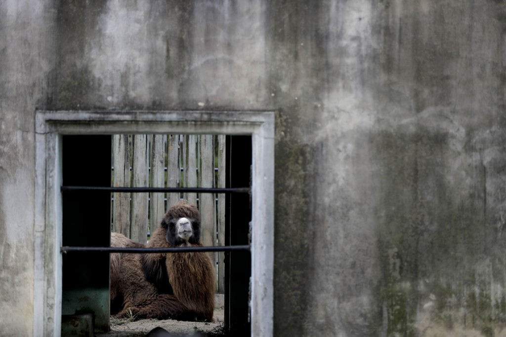 "In this Aug. 7, 2018 photo, a camel sits in his enclosure at the ""eco-park""  in Buenos Aires, Argentina. The antiquated enclosures are widely consider"