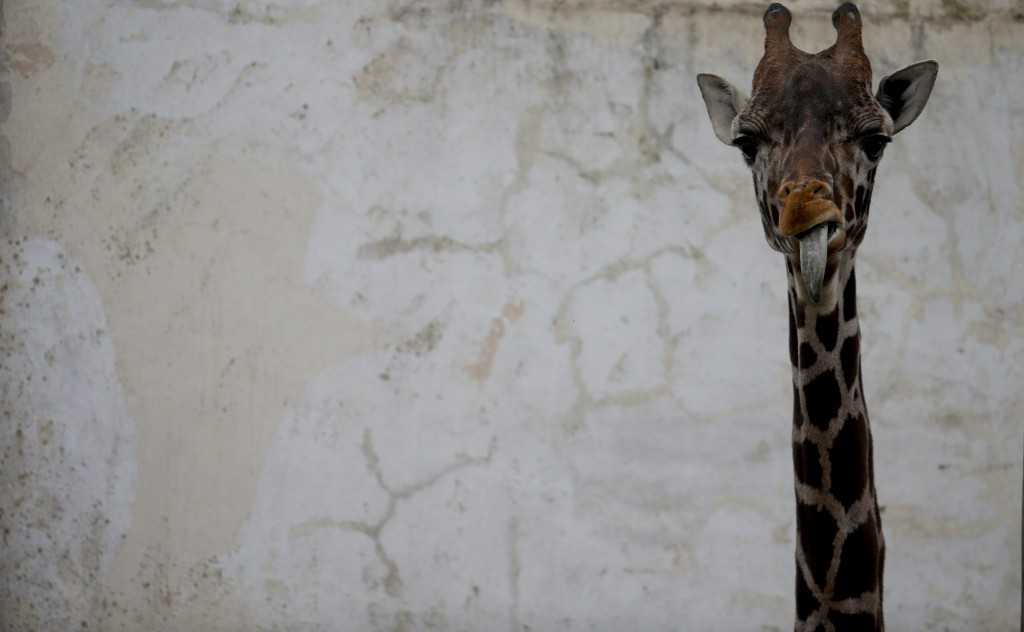 "In this Aug. 7, 2018 photo, Ciro, a juvenile giraffe, stands in his enclosure which he use to share with his mom Shaki, at the ""eco-park"" in Buenos Ai"