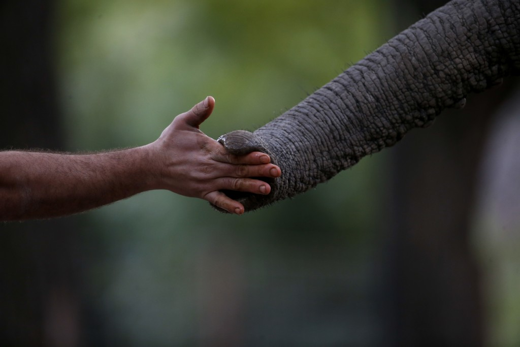 "In this Aug. 7, 2018 photo, Zoo Keeper Mariano Narvaez trains Pupy, and African elephant at the ""eco-park""  in Buenos Aires, Argentina. The recent dea"