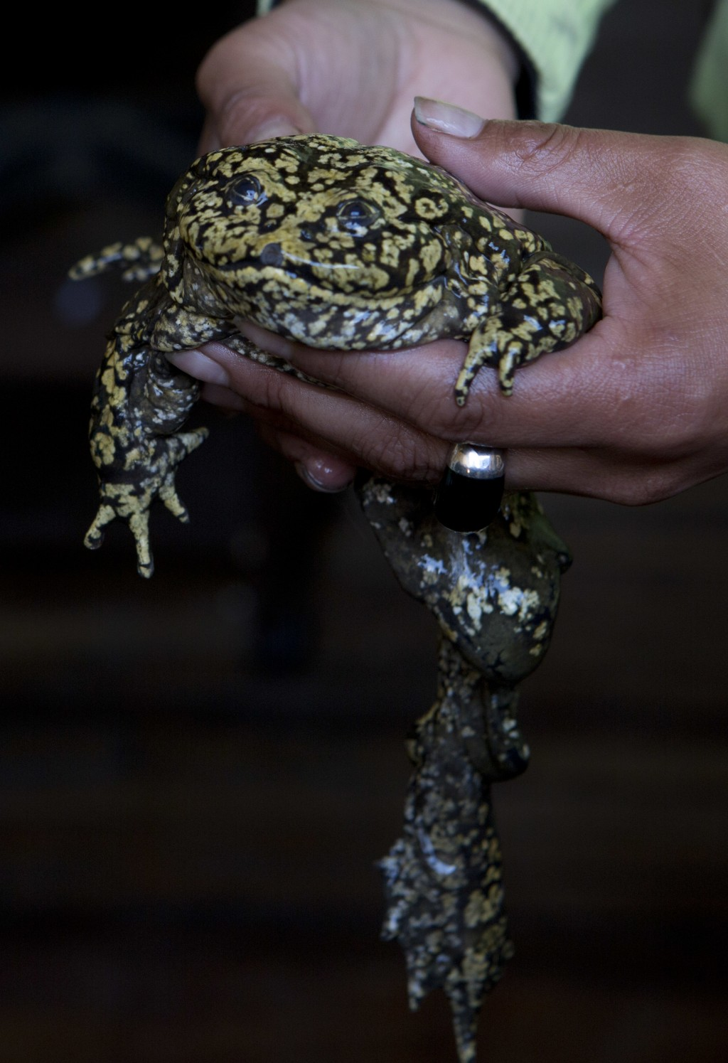 A police officer shows the press a baby freshwater frog, which is native to Lake Titicaca, at the police station after it was recovered from a vendor'...