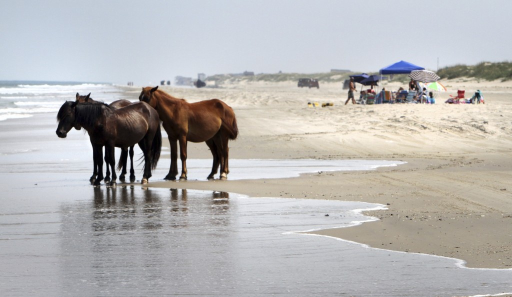 FILE - In this July 25, 2011, file photo, a group of wild horses cools off in the ocean breeze on the beach in Corolla, N.C. As North Carolina braces