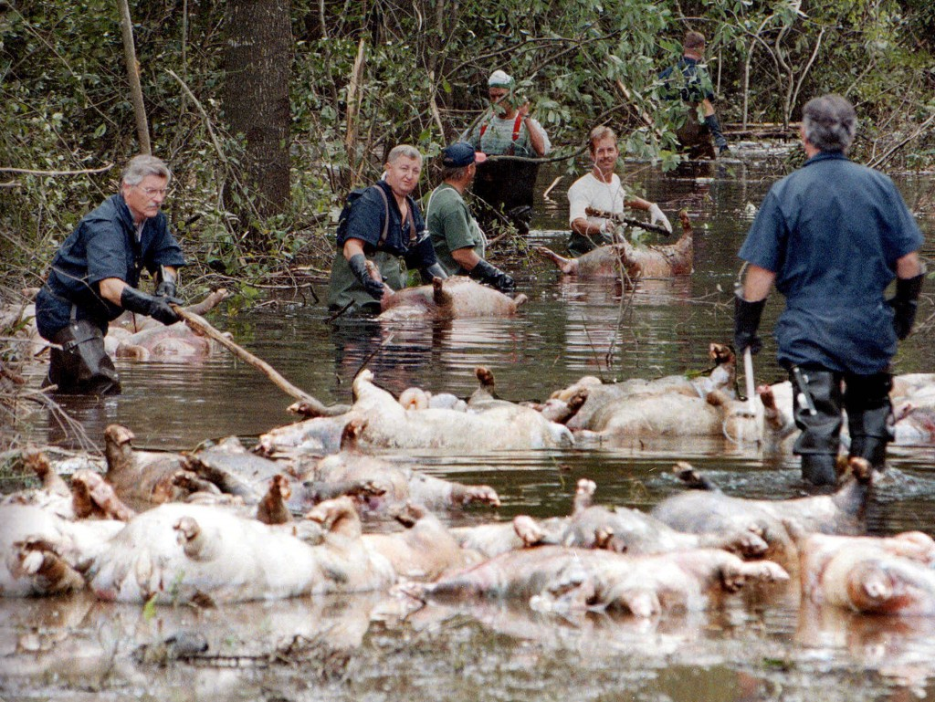 FILE - In this Sept. 24, 1999, file photo, employees of Murphy Family Farms along with friends and neighbors, float a group of dead pigs down a floode...