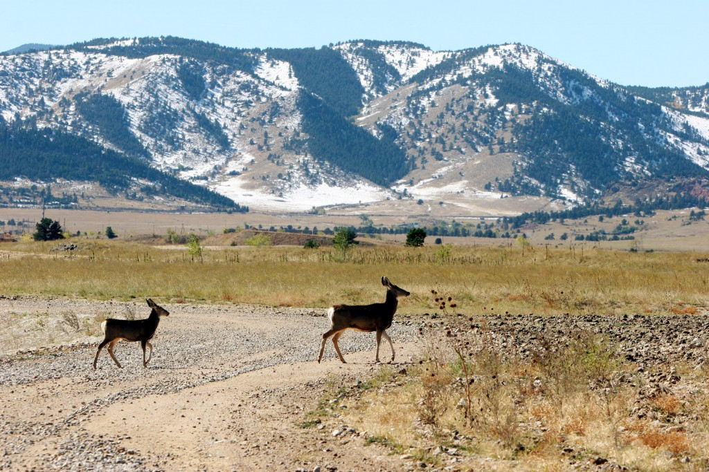 FILE - In this Oct. 13, 2005, file photo, deer cross a road striped of its asphalt at the former Rocky Flats Nuclear Weapons plant near Golden, Colo.