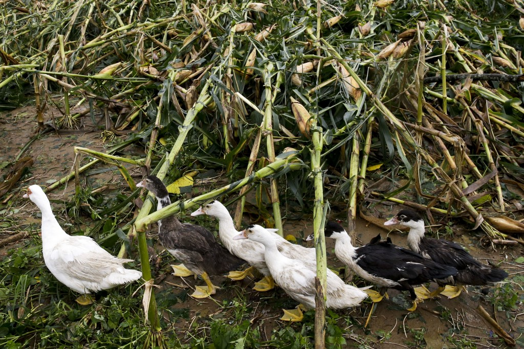 Ducks pass by a cornfield totally damaged by strong winds from Typhoon Mangkhut as it barreled across Tuguegarao city, in Cagayan province, northeaste