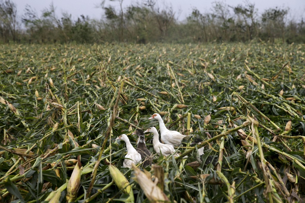 Ducks walk along a cornfield totally damaged by strong winds from Typhoon Mangkhut as it barreled across Tuguegarao city, Cagayan province, northeaste