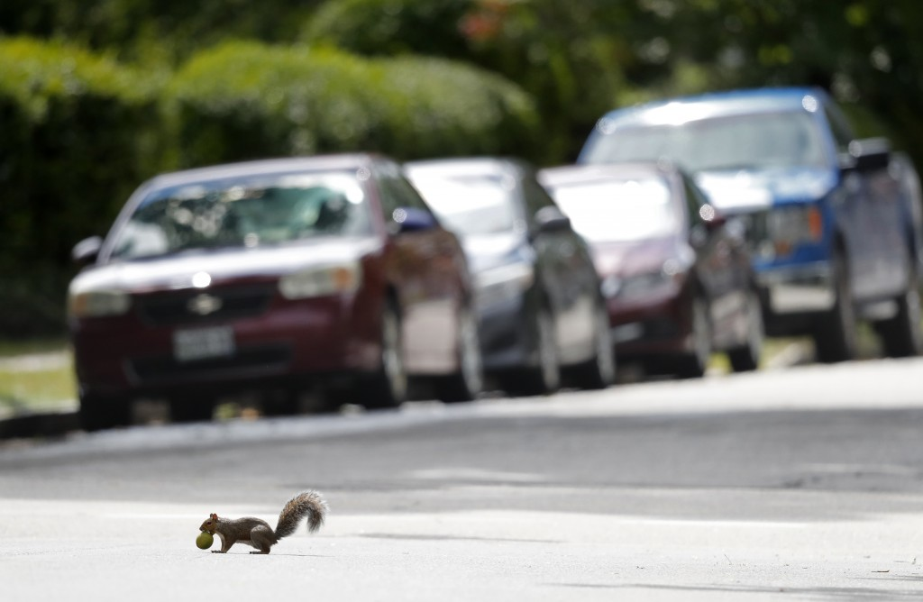 In this Tuesday, Sept. 11, 2018 photo, a squirrel carries a walnut across a street in Portland, Maine. A booming squirrel populations has forced drive