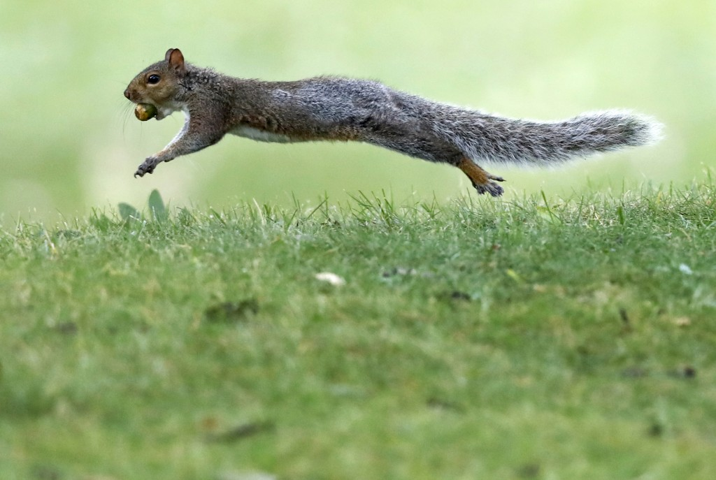 In this Tuesday, Sept. 11, 2018 photo a squirrel runs with an acorn in Portland, Maine. A bumper crop of acorns, pine cones and other staples last yea
